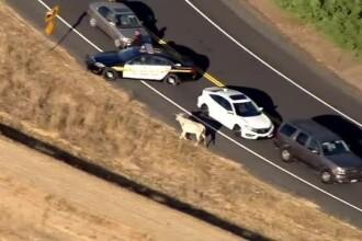 """O vacă, urmărită de 2 mașini de poliție, după ce a """"evadat"""" dintr-un camion"""
