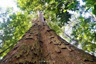 Ce s-a întâmplat cu cel mai înalt copac din Amazon după incendiile devastatoare