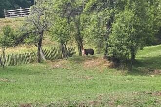 Un urs a rămas prins într-o capcană improvizată în Parâng. FOTO