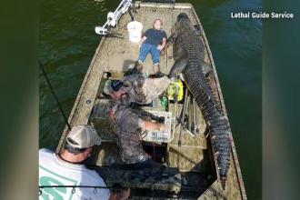 Au prins un aligator gigantic de peste 4 metri lungime. E incredibil ce vor să facă cu el