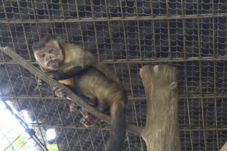 Un pui de capucin brun, noua vedetă a Grădinii Zoologice din Târgu Mureș. Este o premieră