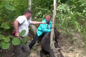 Urs salvat după o noapte de chin. A rămas cu gâtul într-un laț pus de un braconier
