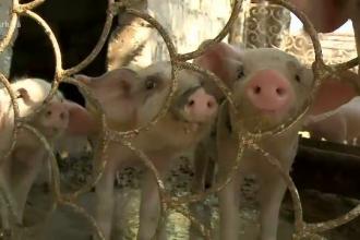 Dezastru pentru ferma de porci Gropeni. Proprietarul trebuie să ucidă 16.000 de animale
