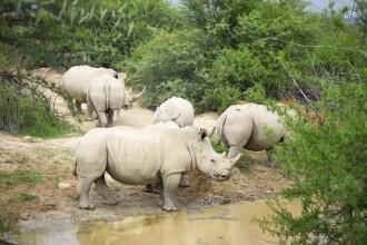 Cercetătorii au găsit soluția pentru a salva ultimii doi rinoceri albi. Despre ce este vorba