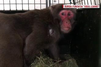 Stăpânul maimuței evadate, de negăsit. De ce evită autoritățile să-l verifice pe proprietar