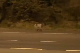 Autostradă din Anglia închisă din cauza unei capre. Ce a făcut animalul