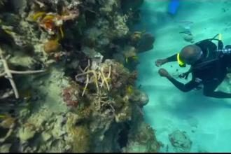 """Distruse de om, recifurile de corali din Jamaica prind viață. Cum acționează """"grădinarii"""""""