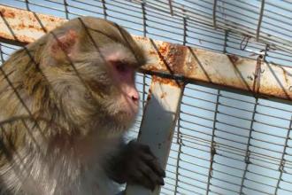 De ce riscă maimuțele confiscate de la Nuțu Cămătaru să devină obeze