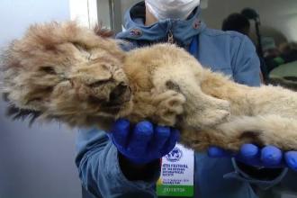 Doi pui de leu mumificaţi, expuşi în centrul Moscovei. Misterul pe care îl ascund