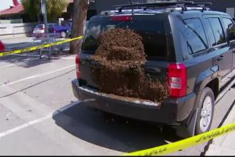 Un oraș din Australia a fost invadat de albine. Explicația pentru acest fenomen