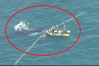 Pui de balenă, blocat într-o plasă în apropiere de țărm. Cum a fost salvat