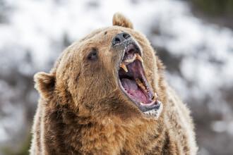 Un bărbat a fost grav rănit după ce a fost atacat de un urs în județul Brașov