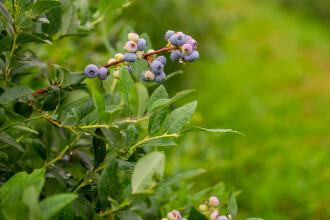 Despre fructele de pădure din Țara Făgărașului