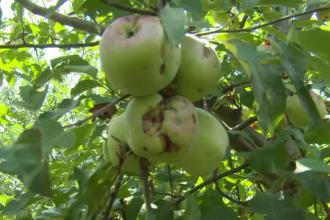 Prețul merelor s-ar putea dubla la iarnă. Multe culturi, afectate de grindină