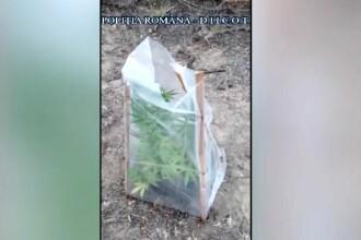 Cultură de cannabis în pădure, la Galați. Doi tineri au fost reținuți