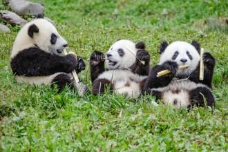 Petrecere la un centru de conservare a urşilor panda din provincia chineză Sichuan