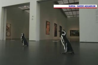 Doi pinguini au vizitat Muzeul de Artă Contemporană din Chicago. Ce spun îngrijitorii