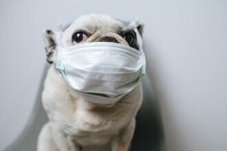 Cercetători canadieni: Bolnavii de COVID-19 își pot infecta animalele de companie