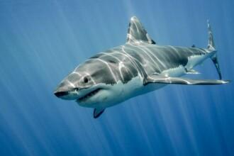 Spaima temuților rechini albi. Creatura care îi pune imediat pe fugă