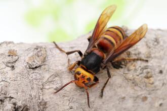 """Bărbat decedat după ce fost înțepat de un roi de viespi asiatice uriașe. Acestea sunt """"canibale"""" cu propria specie"""