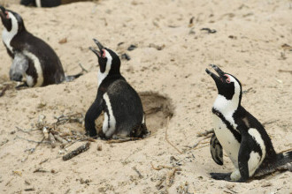 Zeci de pinguini, găsiți morți pe o plajă. Ce s-a întâmplat