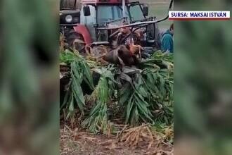 Un urs a sfârșit în chinuri groaznice, pe un câmp, rănit de o combină care strângea recolta
