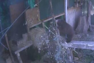 Incendiile din California au afectat și animalele. Cum sunt ținuți în viață câțiva pui de urs care au rămas orfani