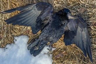 Sute de corbi au căzut din cer, într-o localitate din Rusia. Oamenii vorbesc de scene apocaliptice