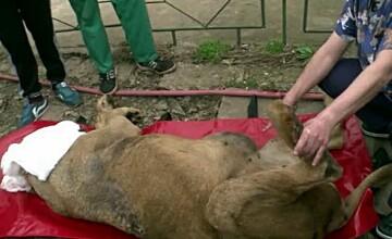 Operatiune de salvare a leoaicei Adela. Medicii i-au scos o tumora de 6 kilograme