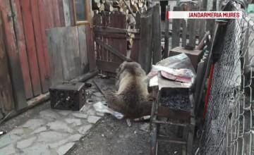 O fetita din Mures a fost atacata de urs chiar in curtea casei. Ce s-a intamplat apoi cu animalul furios