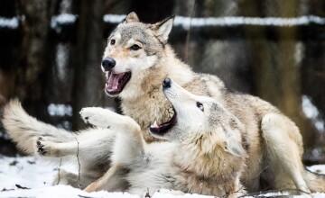 """Locuință din Covasna atacată de lupi. Oamenii, speriați: """"Și cu urșii am avut probleme"""""""