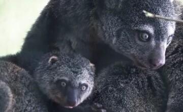 Animalul rar care face furori într-o grădină zoo din Polonia. Motivul pentru care este pe cale de dispariție