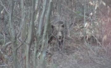 Operatiune greoaie pentru salvarea unui urs prins intr-un lat, intr-o padure din Bacau. \