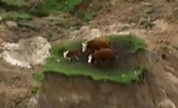 Imaginea zilei. Trei vaci, izolate pe un petec de pamant dupa alunecarile de teren cauzate de cutremurul din Noua Zeelanda
