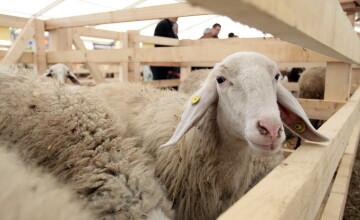 Coruptie cu lână. Un procuror DIICOT Tulcea a fost retinut pentru ca a luat mita o oaie