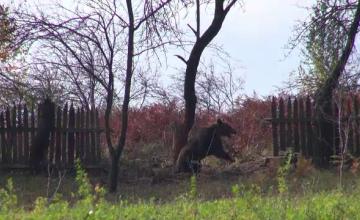 Incident nefericit pentru un pădurar din Bacău. A fost atacat de un urs prins în capcană