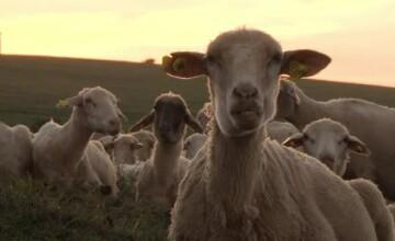 Metoda ilegală prin care fac bani ciobanii și samsarii de lână. Statul oferă 2 lei la kg