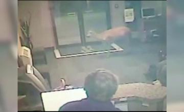 O caprioara a facut dezastru intr-un hotel din SUA. Imaginile surprinse de camerele de supraveghere