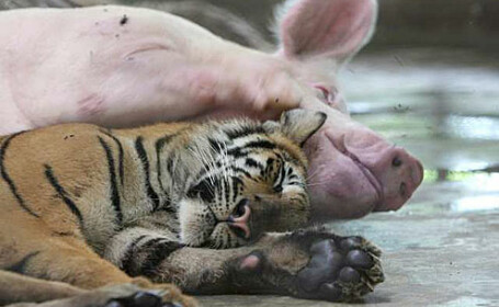 tigru-porc
