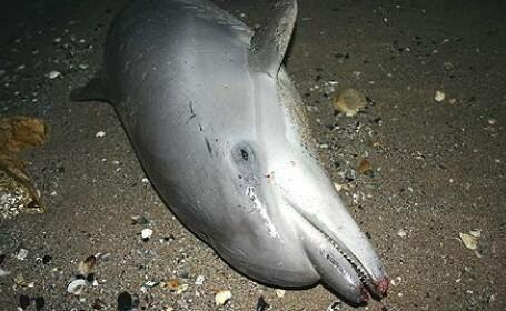 Marea Neagra ramane fara delfini. Ii omoara plasele pescarilor si exercitiile militare ucrainene