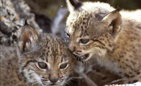 Lynx iberic