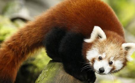 panda rosu