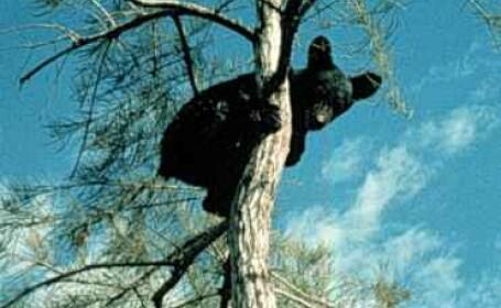 Urs negru in copac