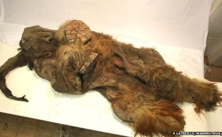 VIDEO. Un pui de mamut perfect conservat dezvaluie unul din secretele supravietuirii speciei umane