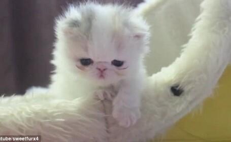 pui de pisica