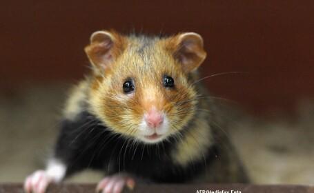 FOTO. Hamsterul care a INVIAT dupa ce a fost ingropat. Stapanii i-au schimbat numele in \