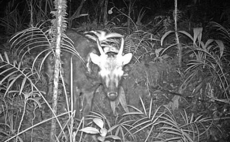 Descoperire remarcabila. Doua mamifere extrem de rare au fost fotografiate pentru prima data. FOTO