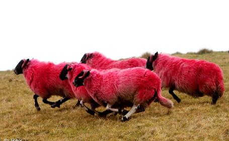 Oi roz au aparut pe dealurile din Scotia: \
