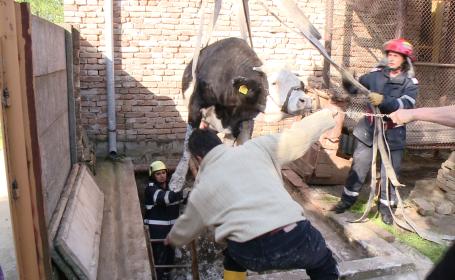 vaca salvata din put