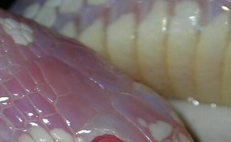 Animalele din Insulele Canare, decimate de un sarpe american. Mii de exemplare traiesc sub pamant
